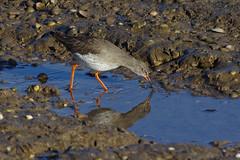 K32P9617c Redshank, RSPB Titchwell, November 2018 (bobchappell55) Tags: titchwell norfolk wild bird wildlife nature redshank wader tringatotanus