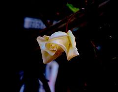 Rosa (angelalonso4) Tags: canon eos 7d mark ii tamron 16300mm f3563 di vc pzd b016 ƒ63 3000 mm 130 200 flor flower nature natura rosa rose macro makro scatto explorar explore natural naturalmente