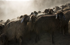 (silvia pasqual) Tags: turkey turkish sheeps sheep light photo photography nature reportage documentary life daily everyday nomadic nomad shepherd kurdistan fotocult world travel travelling travelphotography