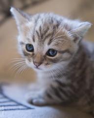 20160904_2771c (Fantasyfan.) Tags: european kitten breed fantasyfanin kuunkissan