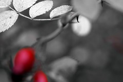 Crossroads (Minding the Moment) Tags: rosehip thorn autumn red bw minimalism