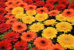 Gerbera (Transvaal Lily) (Seventh Heaven Photography **) Tags: 129th shrewsbury flower show shropshire england nikon d3200 flowers flora blooms gerbera transvaal lily orange yellow red