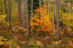 Clumber Colours (Julian Barker) Tags: clumber park nottinghamshire east midlands england uk julian barker vegetation autumn fall colour orange pine tree trees canon dslr 5d mkii