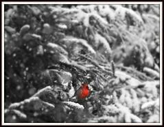 Cardinal moment (karma (Karen)) Tags: baltimore maryland home backyard trees branches snow birds cardinal selectcolor selectfocus picmonkey hss topf25