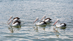 Pelican at the Waterfront (Merrillie) Tags: woywoy waterfront bills nature water birds newsouthwales nsw brisbanewater wildlife feathers australia coastal wings outdoors animals fauna centralcoast bay pelican five fiveofakind