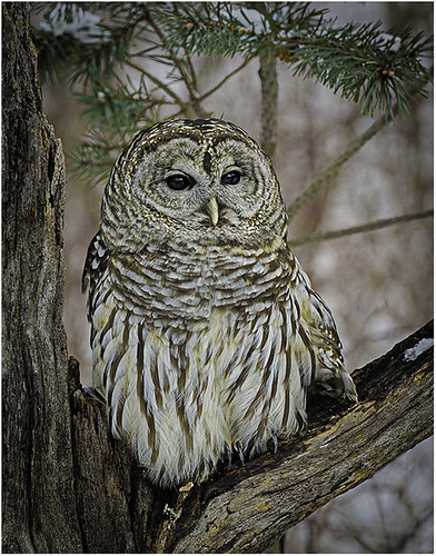 Barred Owl by Fred Drury - Award Class A Print - January 2019