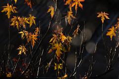 Count tree leaves (herman hengelo) Tags: esdoorn acer ahorn backlight garden hengelo thenetherlands