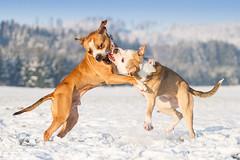 2018-11-28 (3) (annamarias.) Tags: americanpitbullterrier pitbull apbt dogs hunde hundefreunde dogfriends playing spielen schnee snow winter white blue weis blau pet haustier