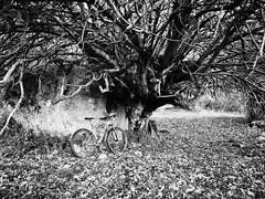 La higuera que parte el cancho en dos (La nesto de la lango) Tags: bicicleta mountbiker mountainbike bike btt mtb plasencia extremadura spain higuera canchos dehesa