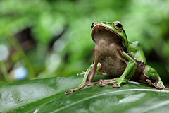 2J4A8082 (ajstone2548) Tags: 12月 樹蛙科 兩棲類 翡翠樹蛙