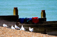 Gulls Changed for a Swim (davidheath01) Tags: seascape soe seagulls whitstable sea water birds sand seaside blue nikon d5100 dslr dof depthoffield picture photo photograph england swim changed stones bank holiday travels traveling nikonflickraward beauty beautiful