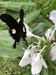 Black butterfly - Mahua, Tambunan, Sabah, Malaysia (mikeyashworth) Tags: sabah sarawak holidays tambunan mahua mahuawaterfall malaysia borneo nature mikeashworthcollection butterfly blackbutterfly foliage flowers tropicalrainforest
