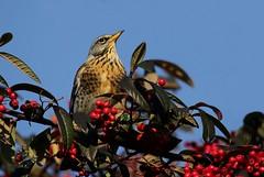 Seasonal Fieldfare (farrertracy) Tags: winter bluesky bird berries fieldfare thrush green redberries tree