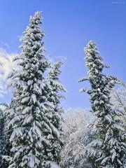 Winter tree cover by snow, Rome - Italy (al.scuderi71) Tags: snow daylight winter inverno abeti cipressi bianco white blue panasonic gh4 on1 pics photo raw 2018 2019 on1pics