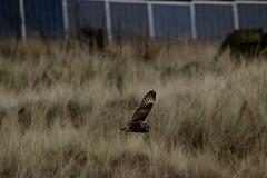 IMG_4585 (monika.carrie) Tags: monikacarrie wildlife scotland forvie shortearedowl seo