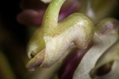 [Bismarck Archipelago, Papua New Guinea] Dendrobium woodsii P.J.Cribb, Orchadian 6: 282 (1981)