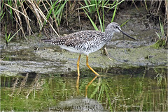 Greater Yellowlegs (acadia_breeze4130) Tags: virginia chincoteague assateagueisland assateague wildliferefuge refuge wildlife nature naturephotography shorebird bird wading water sx60hs shore karencarlson spring may 2018