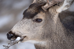 Close up portrait of a mule deer eating twigs and grasses in the winter (m01229) Tags: grass buck cute nature bark young meadow brown animal hemionus banffnationalpark male ruminant herbivore hoofed life outdoors canada ungulate eating free face grazing back flower winter pasture doe wild black feed graze antler wildlife mule head fur green mammal forest ears alberta deer park looking muledeer alert field