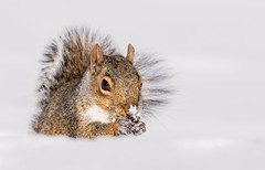 Snowflake (explored 01/25/2019) (Lynn Tweedie) Tags: snow 7dmarkii missouri squirrel winter sigma150600mmf563dgoshsm white tail eye canon eos ngc animal