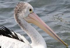 Australian Pelican 261018 (8) (F) (Richard Collier - Wildlife and Travel Photography) Tags: australia australianbirds birds naturalhistory nature australianpelican naturethroughthelens