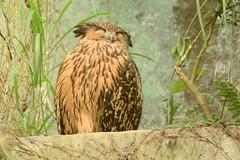 """黃魚鴞  """"Ketupa flavipes""""  """"Tawny Fish-Owl"""" (掌櫃2) Tags: 黃魚鴞 ketupaflavipes tawnyfishowl 木柵動物園 掌櫃 掌櫃1 掌櫃2 nikond7100 nikon200500mm"""