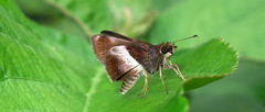 Remella cusillunia (hippobosca) Tags: butterfly hesperiidae peru remellacusillunia insect lepidoptera skipper macro