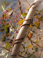 painted vine (bidutashjian) Tags: berries plant red orange fruit vine tendrils tree branch foliage