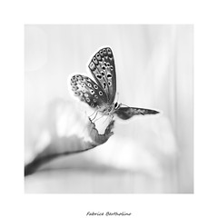 Azuré BW (bertholino fabrice) Tags: fabricebertholino azuré papillon butterfly carré proxy macro nature nikon sigma105macrooshsm