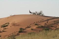 Les dunes rouges du Kgalagadi et Kori Bustard/Outarde de Kori (safrounet) Tags: ktppaysages kgalagadi southafrica afriquedusud aride arid semiaride semiarid sable sand rouge red trace track vie dune emprunte piste ktp kgalagaditransfrontierpark