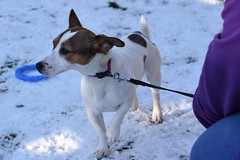 Molly (4) (AlmostHome_Dog) Tags: almost home dog rescue north wales jack russell terrier dachshund
