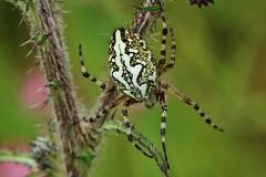 Eichblatt-Radspinne (Aculepeira ceropegia) (Hugo von Schreck) Tags: hugovonschreck eichblattradspinne aculepeiraceropegia spider spinne macro makro insect insekt yourbestoftoday canoneos5dsr tamron28300mmf3563divcpzda010