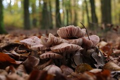 Between the leaves (RW-V) Tags: autumn nature forest automne mushrooms bokeh herbst natur herfst bos pilze wald forêt apeldoorn paddestoelen champignons naturesart sooc paleisparkhetloo canoneos70d palaceparkhetloo palastparkhetloo canonefs35mmf28macroisstm palaisparchetloo 100faves 150faves 175faves 200faves 225faves 250faves 275faves 300faves 325faves 2500views 350faves 375faves 400faves 425faves 450faves 475faves 5000views 500faves 525faves 7500views 10000views 550faves 575faves 600faves