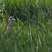 Wild Turkey Walking Through Tall Grass