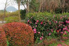 Camellia bush (Greg Peterson in Japan) Tags: mountains 植物 mikamiyama shiga 三上山 flowers kamitoyama 栗東市 plants 花 滋賀県 japan ritto shigaprefecture