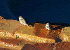 House Sparrows (austexican718) Tags: backyard bird centraltexas native fauna wildlife nature canon eos70d ef70300mm456isusm