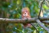 Hoernchen-2018-3427.jpg (Joachim Dobler) Tags: eichhörnchen eichhoernchen squirrel écureuil ardilla scoiattolo esquilo nature natur nagetier esquito wildlife animal cute naturephotography squirrellove wildlifephotography bestsquirrel nutsaboutsquirrels cuteanimals