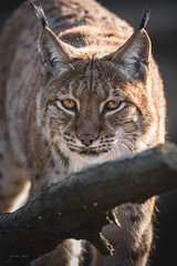 A little tired or bored? (Soren Wolf) Tags: lynx lynxes looking eye close up short depth off field dof bokeh yellow zoo nikon d7200 300mm opole watching watch camera cat big closup animal animals