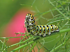 12 Days of Christmas Butterflies - #2 Black Swallowtail caterpillar chowing down on fennel (Vicki's Nature) Tags: caterpillar blackswallowtail butterfly green spots stripes eyes eating fennel yard georgia vickisnature canon s5 7885 wild christmas christmas2018 papiliopolyxenes pinkhibiscus bokeh ngc returnngc npc