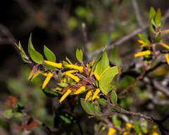 Myrtle Geebung (Persoonia myrtilloides subsp. myrtilloides Sieber ex Schult. & Schult.) ([S u m m i t] s c a p e) Tags: persooniamyrtilloides proteaceae summer yellow bluemountains myrtlegeebung nativeplants katoomba