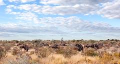 Grazing Wildebeests _6198-2 (hkoons) Tags: southernafrica africa african namibia etosha pan flats desert namutoni caprivi caprivistrip wildlife grass grasses clouds wildebeest animals beasts sky