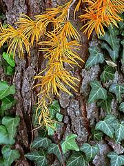 "Cincinnati - Spring Grove Cemetery & Arboretum ""Yellow Larch Tree Needles"" (David Paul Ohmer) Tags: cincinnati ohio spring grove cemetery arboretum yellow larch tree needles"