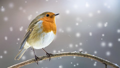 Merry Christmas (Paula Darwinkel) Tags: robin europeanrobin bird snow christmas animal wildlife nature wildphotography winter holidays