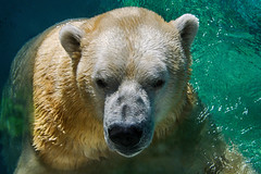Happy New Year! (ucumari photography) Tags: ucumariphotography polarbear ursusmaritimus oso bear animal mammal nc north carolina zoo osopolar ourspolaire oursblanc eisbär ísbjörn orsopolare полярныймедведь nikita dsc9066 specanimal