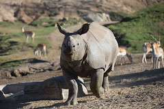 2018_02 rhino SDSP-4 (jplphoto2) Tags: jdlmultimedia jeremydwyerlindgren sandiego sandiegosafaripark blackrhino blackrhinoceros greateronehornedrhinoceros rhino rhinoceros zoo
