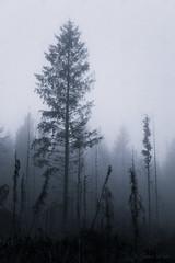 Survivor (shawn~white) Tags: 50mm canon6d ceredigion cymru ef50mmf18stm uk westwales conifer coniferous cool dark dramatic enchanting fallen fog foggy forest forestry magical monochrome moody mystical retro softwood trees vintage weather wood woodland woods ©shawnwhite