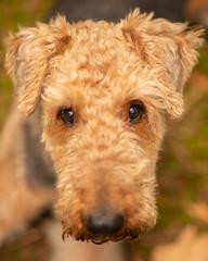 Who me? (Gareth R O Dawes) Tags: hund herzig cute airedale terrier perro dog