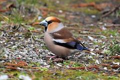 5774 Hawfinch  Big beak (Realmantis) Tags: bird gros bec garden hawfinch beak