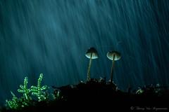 Mycene (vanregemoorter) Tags: champignons mushrooms macro forêt forest