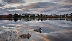 """Go for a swim' (Vest der ute) Tags: g7xm2 g7xll water waterscape lake landscape reflections sky clouds houses trees ducks norway rogaland haugesund skeisvatnet fav25"