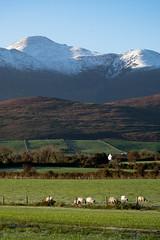 Irish sheeps (SimonFRS) Tags: ireland nature sheep landscape fujifilm killarney travel autumn snow xt20 mountain